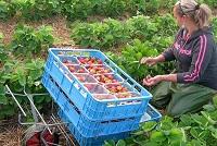 Українці масово відмовляються їхати на сезонні заробітки у Польщу